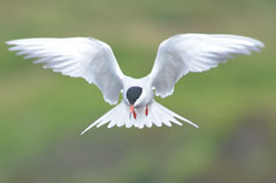 Common tern hunting