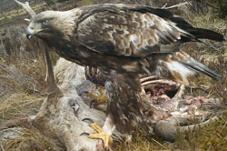 Raptor surveys - golden eagle