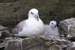 Sea bird surveys - nesting fulmar